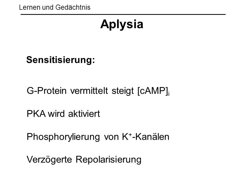 Aplysia Sensitisierung: G-Protein vermittelt steigt [cAMP]i